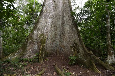 fused: Roots of tree in Cameroonian Rainforest, Outdoor, Wide Angle