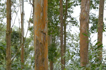 cameroon: Eucalyptus Trees Mount Cameroon, Outdoor
