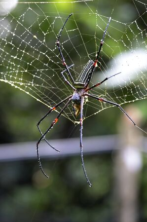 cameroonian: Poisonous Spider in Cameroonian Rainforest, Outdoor, Tele Stock Photo