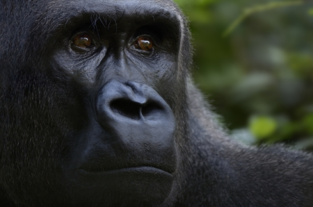 Gorilla Face Close Up, Outdoor, Tele, Cameroon