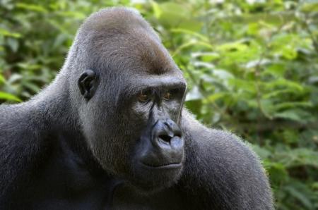 Gorilla Face Close Up, Outdoor, Tele, Cameroon