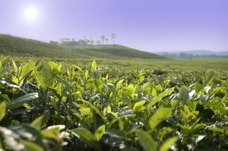 cameroon: Tea Plantation, Monte Camerun, all'aperto