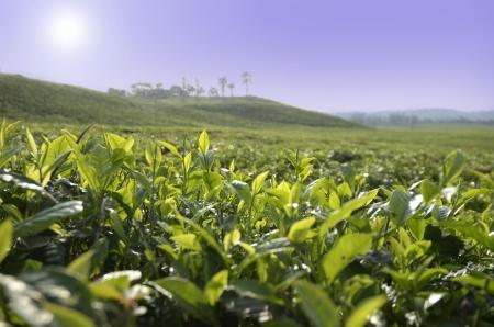 cameroon: Tea Plantation, Mount Cameroon, Outdoor