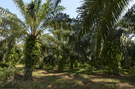 Palm Oil Plantation Cameroon, Buea,  December 2012, Outdoor Shot photo