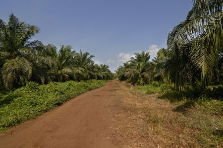 Palm Oil Plantation Cameroon, Buea,  December 2012, Outdoor Shot Stock Photo - 16853788