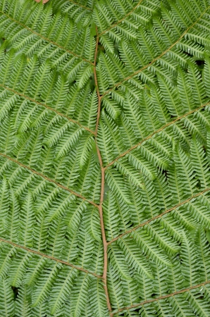 polypodiopsida: Tree fern detail, Mount Cameroon, Outdoor