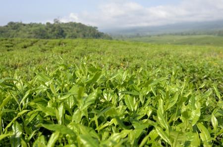 Plantation de thé, le mont Cameroun, en plein air Banque d'images - 16909768