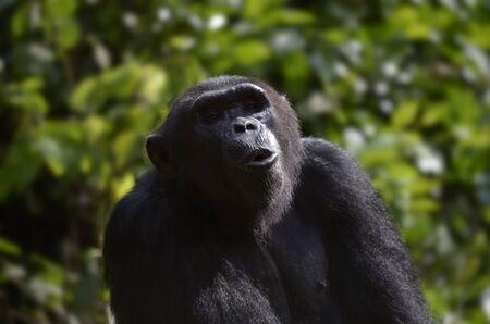 chimpances: Retrato del chimpancé, al aire libre, Tele, Camerún
