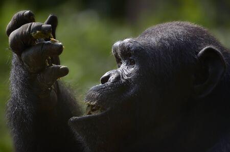 tele up: Chimpanzee eating fruit, Close Up, Tele Outdoor, Cameroon