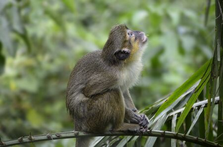 smallest: Talapoin sitting on a branch,  smallest primate of the old world , Tele, Outdoor, Kamerun Stock Photo