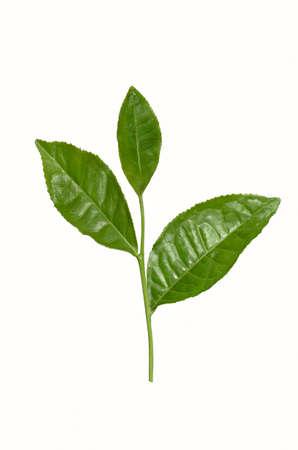 Tea tree: Tea branch with leaves Stock Photo