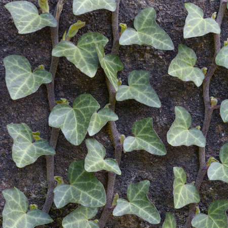 Young ivy growing on the wall, closeup photo