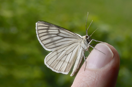 fingertip: Butterfly sitting on fingertip, Outdoor, Macro