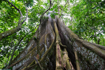felling: Buttress roots in the rainforest, Cameroon, outdoor shot