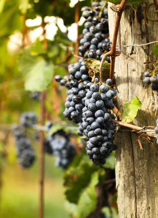 秋のブドウ園秋収穫の熟れた葡萄