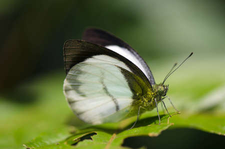pieridae: Forest White