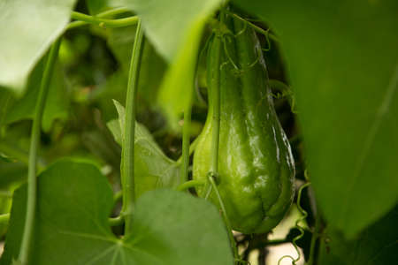 CIA: chayote squash hanging on the vine