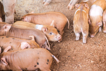 pigpen: Baby pigs in the farm. Brazil country side.
