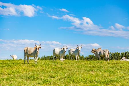 Brazilian nelore catle on pasture in Brazils countryside
