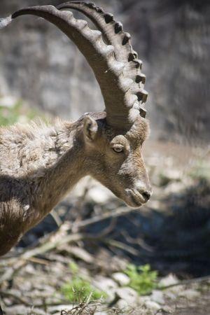 wild goat: Capra aegagrus o cabra