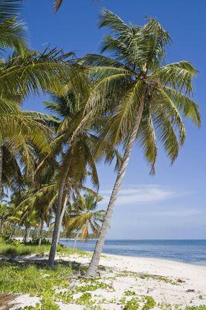 Palm tree in white sand beach photo