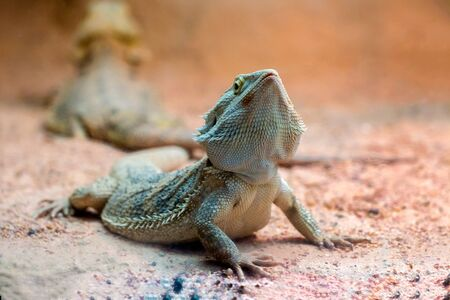domestico: Bearded Dragon on a zoo