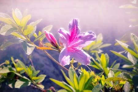 atmosfera: Ambiente, alejado de las flores de azalea jardín en colores púrpura