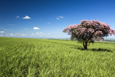 biomasa: campo de cultivo de caña en un día soleado. Agricultura.