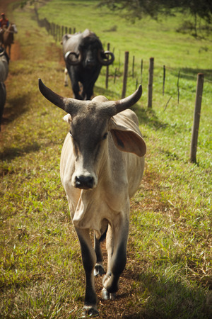 A cow at the ranch on sunny day. Agriculture.