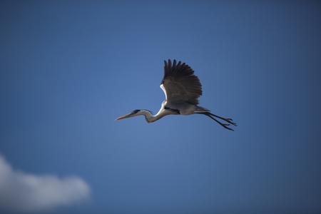 beine spreizen: Fliegende Reiher auf einem blauen Himmel im Hintergrund. Vögel in der freien Natur Lizenzfreie Bilder