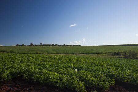 Coffee plantation and a blue sky. Brazil.