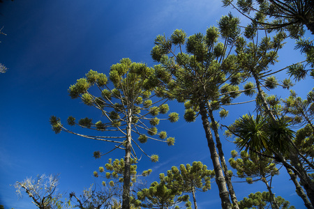 Closeup of upper part of Araucaria angustifolia ( Brazilian pine) with sky and clouds background. Stock Photo