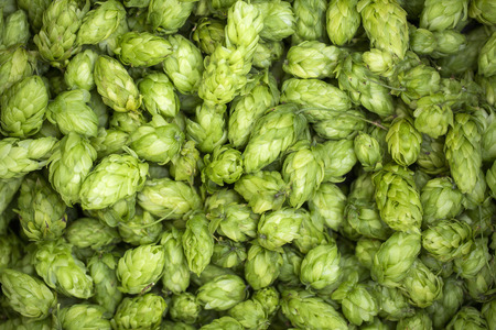 Green fresh hop cones for making beer and bread close up.
