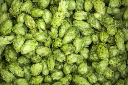 Zielone szyszki chmielowe świeże do produkcji piwa i chleba z bliska. Zdjęcie Seryjne