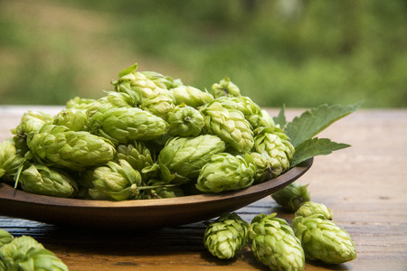 Hops cones in wooden ladle bowl with plantation background.