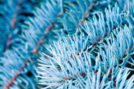 Pine tree branches  in cold blue tones. Closeup Stock Photo - 3735106