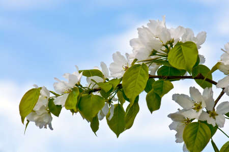 Blossoms apple tree flowers on blue Stock Photo - 4882698