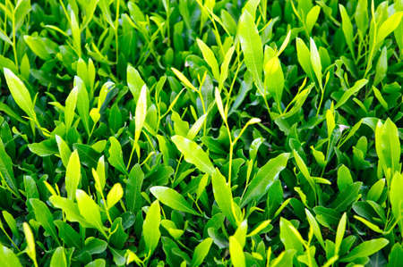 Natural green leaves for background photo