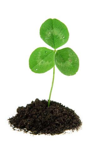Klaver plant groeit. Nieuw leven concept Stockfoto