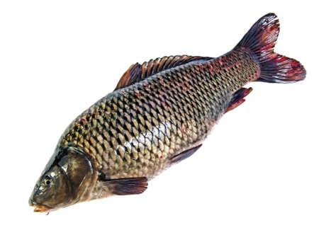 Big fat fish (carp) isolated on white photo