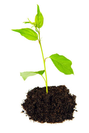small green plant with soil on white photo