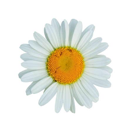 Daisy bloem geïsoleerd op wit Stockfoto