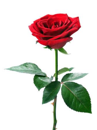 tallo: Rosa roja sobre fondo blanco aisladas