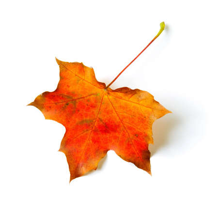 One autumn colored maple leaf isolated on white