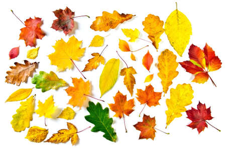 Various autumn leaves: maple, oak and other on white background.