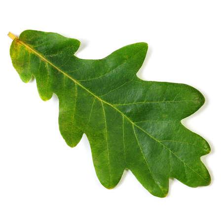 oak leaf isolated on white photo