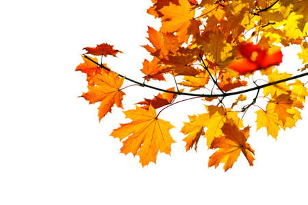 redness: Maple tree branch with fall leaves isolated on white