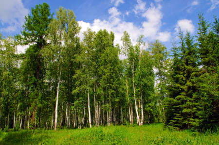 Summer birch and pine forest Stock Photo