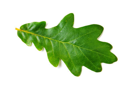 Green oak leaf on white background. Isolated image Archivio Fotografico