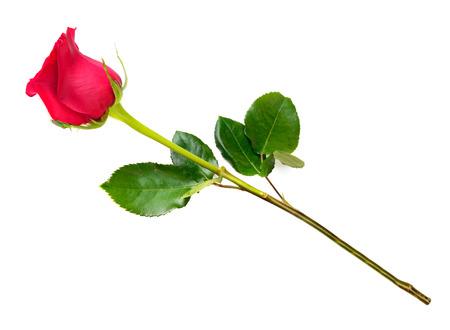 Een rode rozen bloeien door schenking Stockfoto